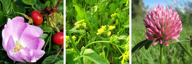 Цветки шиповника, капусты, и клевера