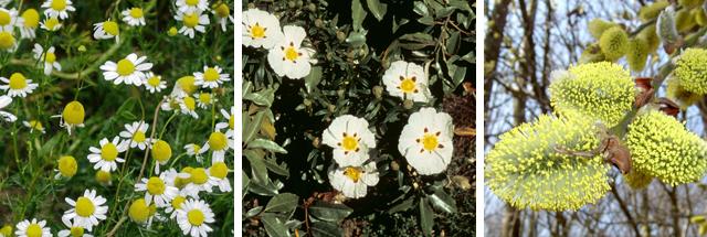 Цветы Ромашки Ивы и Ладанника