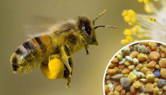 Пчела несет пыльцу и как выглядит сушенная обножка
