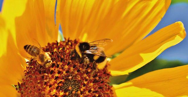 Пчелы на цветке подсолнечника